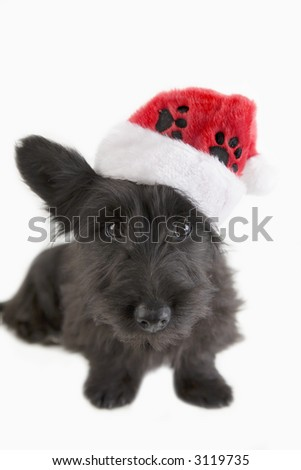 Black terrier pup with santa hat on isolated