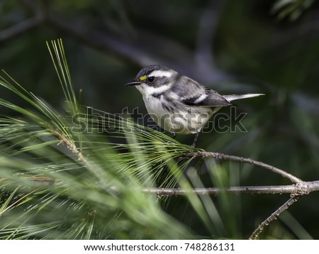 Black-throated Gray Warbler in Fall