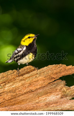 Black-throated Green Warbler - stock photo