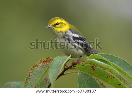 Black-throated Green Warbler (Dendroica virens) in a tree during the spring migration