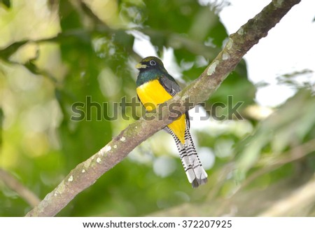 Black-throated Trogon male  perched on a tree branch showing his beautiful plumage - stock photo