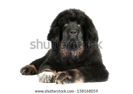 black tibetan mastiff puppy lying down - stock photo