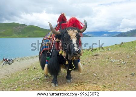 Black Tibetan yak in front of a blue lake - stock photo