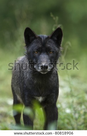 Black timber wolf (Canis lupus) - stock photo