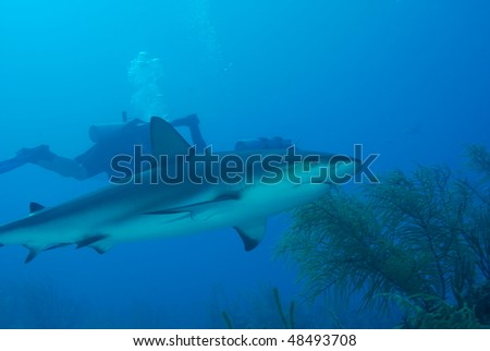 black tipped reef shark after a shark feed