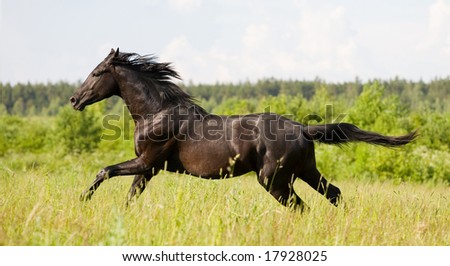 black trakehner stallion running