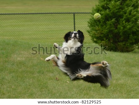 Black Tricolor Australian Shepherd (Aussie) Dog Catching a Ball - stock photo