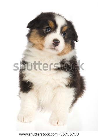 Black tricolor Australian Shepherd pup, on white background