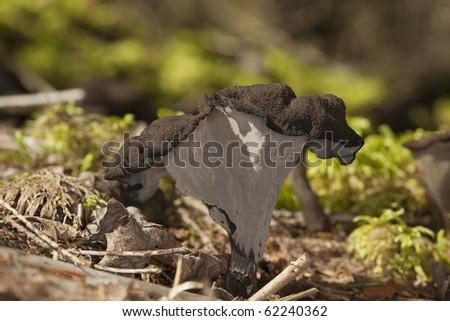 Black trumpet (Craterellus cornucopioides) - stock photo