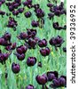 Black Tulips - stock photo