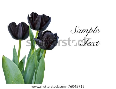 black tulips isolated on white background with space for