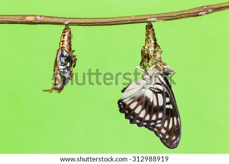 Black-veined butterfly emerging from pupal - stock photo