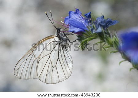 Black Veined White (Aporia crataegi) sitting on a flower - stock photo