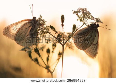 Black-veined White butterfly, Aporia crataegi - stock photo