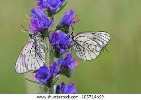 Black-veined White butterfly, Aporia crataegi on Echium vulgare (Viper's Bugloss or Blueweed ) - stock photo