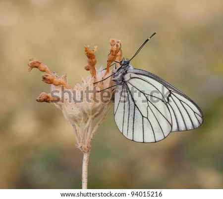 Black - Veined White Butterfly (Aporia crataegi) resting on a plant with a great soft background
