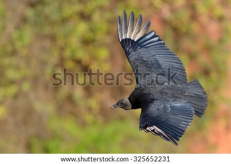 black vulture - stock photo