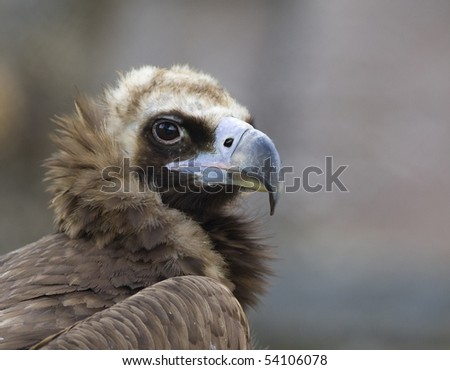 black vulture  close up eagle rock background - stock photo