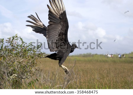Black vulture flies away in Everglades National Park, Florida. Selective focus