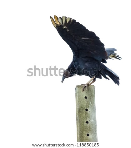Black Vulture landing on a concrete post - stock photo