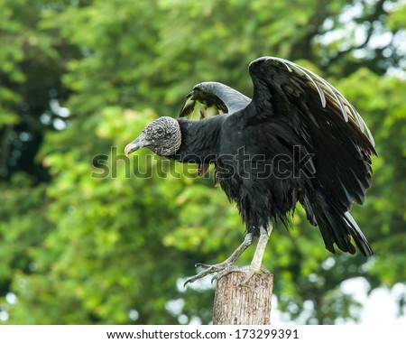 Black Vulture on fence post - Panama - stock photo