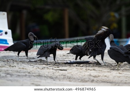 black vultures feeding on a fish near a small fishing village in the pacific coast of Panama