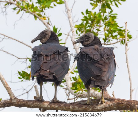 Black Vultures on a limb in the Everglades  - stock photo