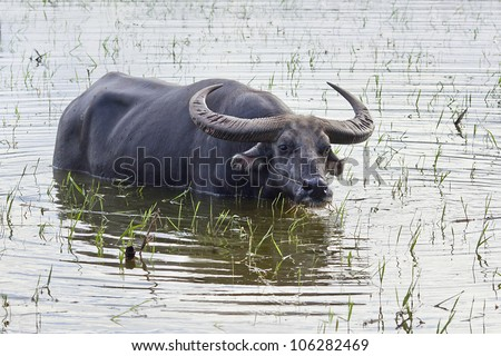 Black water buffalo in a pond, in Yunnan Province, China - stock photo