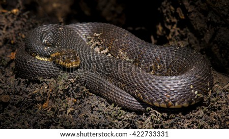 Black Water Snake Curled up on tree - stock photo
