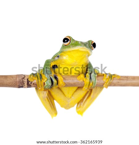Black-webbed flying tree frog, Rhacophorus kio, isolated on white background - stock photo