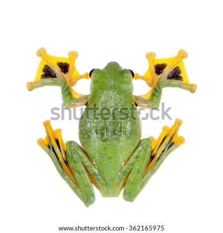 Black-webbed flying tree frog, Rhacophorus kio, isolated on white background