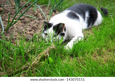Black white cat hunting and ready to jump out of green grass - stock photo