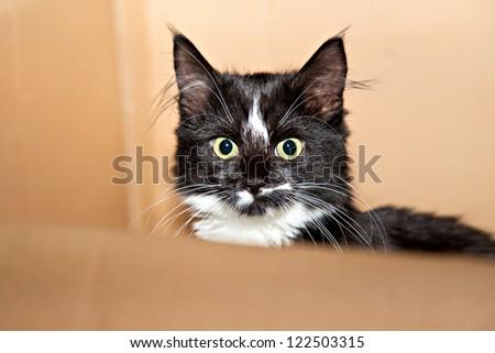 Black-white cat in the carton box - stock photo