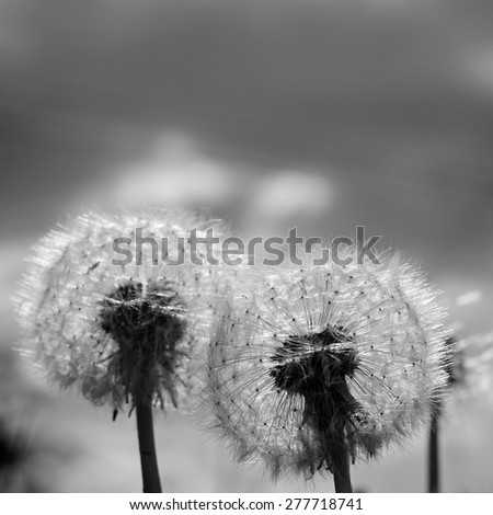 Black white Dandelion blow balls in Spring/Summer. Close up detail of the delicate, light seeds and stem with blue sky and dark grey clouds overhead - stock photo