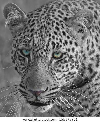 Black & White Leopard Head - stock photo