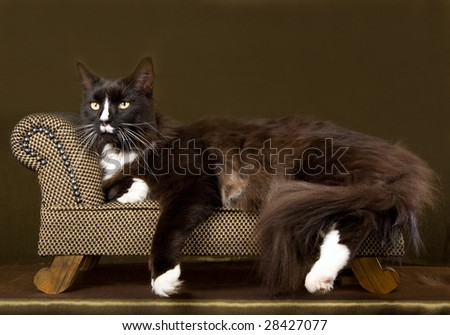 Black & white Maine Coon adult on miniature brown chaise couch sofa on green bronze shiny background - stock photo