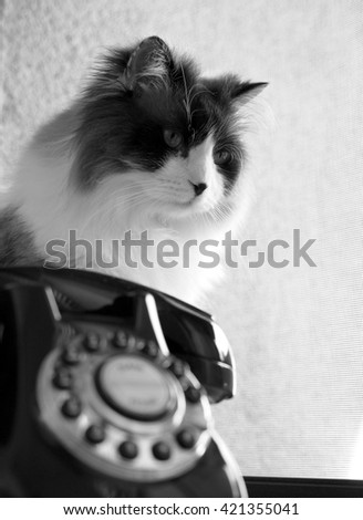 Black White Portrait of Intense Beautiful Wise Long Haired Bi-Color Brown White Blue Eyed Ragdoll Cat with a black button nose and Long Whiskers with Vintage Rotary Phone in Foreground - stock photo