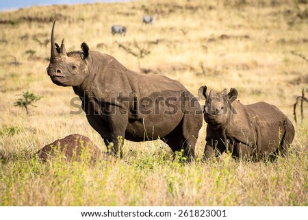 Black White Rhino Mum with Baby Showing off the Horns - stock photo