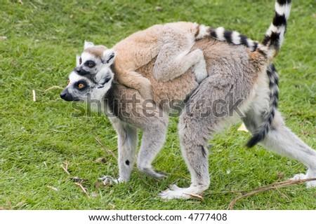 Black & white ruffed Lemur (Varecia varigata varigata) - landscape orientation - stock photo