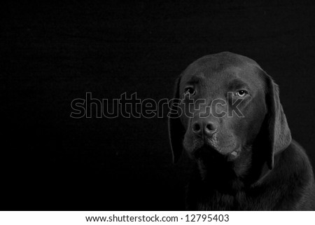 Black & White Shot of a Chocolate Labrador Puppy Facing the Camera, with Copy Space to Left