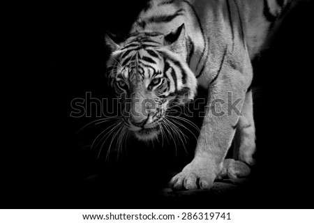 black & white tiger walking step by step isolated on black background - stock photo