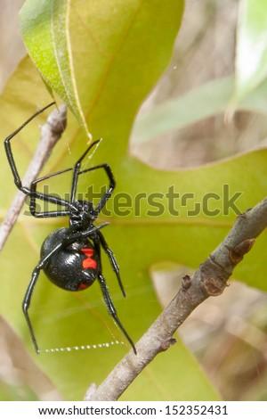 Black Widow - stock photo