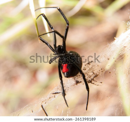 Black Widow spider outdoors, with her red hourglass marking visible on the abdomen - stock photo