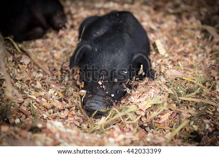 Black wild swine, sleeping in straw