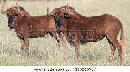 Black wildebeest; Connochaetes gnou - stock photo