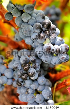 black wine grapes in the vineyard