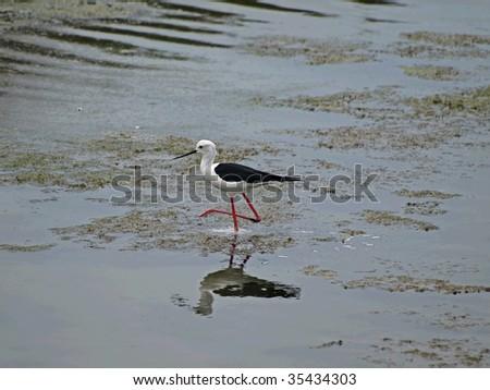 Black-winged Stilt - stock photo