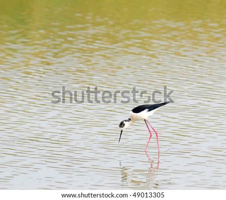 black-winged stilt,bird,asia. - stock photo