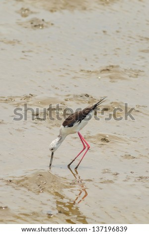 Black-winged Stilt bird (Himantopus himantopus ) walk alone to find the food - stock photo