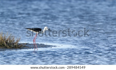 Black-winged stilt bird in Pottuvil, Sri Lanka ; specie Himantopus himantopus
